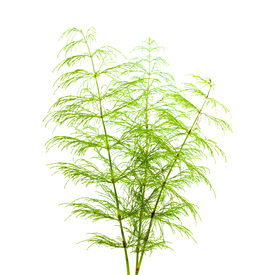 picture of horsetail  - horsetail plant thin fronds isolated on white - JPG