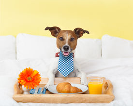 stock photo of continental food  - dog having nice breakfast in white bed - JPG