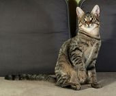 picture of yellow tabby  - Tabby kitten with yellow eyes sitting on couch - JPG