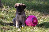 picture of fluffy puppy  - fluffy puppy sitting next to a pink ball  - JPG