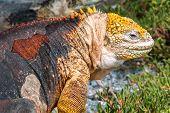 pic of dandruff  - Land Iguana on Isla Plaza Sur Galapagos Ecuador - JPG