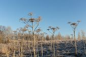 stock photo of parsnips  - landscape in late autumn and cow parsnip in hoarfrost - JPG