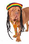 stock photo of rastaman  - Big Wrinkled Dog in a Rastafarian Hat - JPG