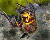 foto of hornet  - Large Hornet in close up in urban garden - JPG