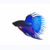 picture of fighter-fish  - side view of beautiful blue crown tail siamese thai betta fighting fish show full form of fin and crowntail isolated white background use for animalsa and aquatic pets theme - JPG