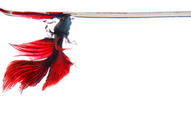 image of fighter-fish  - siamese betta fighting fish on white water leavel - JPG