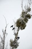 ������, ������: Poplar in the snow