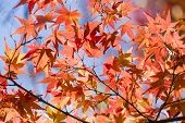 picture of maple tree  - Detail of autumnal maple tree with yellow orange and red leaves Acer palmatum - JPG