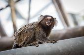 image of marmosets  - Common marmoset or White - JPG