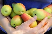 picture of bundle  - bundle of ripe pears in woman hands - JPG