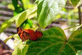 foto of mating animal  - Two orange butterflies mating in Phuket Butterfly Garden Thailand - JPG