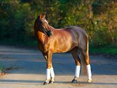 picture of thoroughbred  - Thoroughbred brown horse outdoors on a sunny summer day - JPG