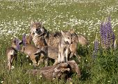 stock photo of wildflower  - Grey wolf puppies hanging out with their mom in a field of wildflowers - JPG