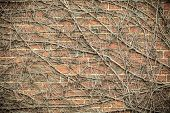 foto of climber plant  - Red brick wall background with dry withered ivy plants - JPG