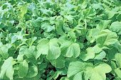 picture of radish  - Background of juicy foliage radish in a garden - JPG