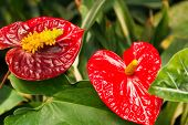picture of tail  - Anthuriums also called tail flower - JPG