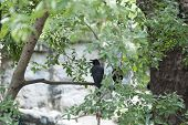 picture of pecker  - animal corvidae bird in the Thailand zoo - JPG