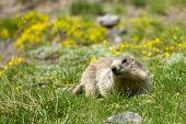 stock photo of marmot  - a marmot in the french alps - JPG