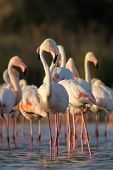 Постер, плакат: Greater flamingo