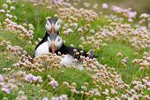 picture of cliffs  - Atlantic Puffin on cliff perched between Pink - JPG