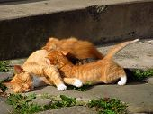 picture of baby cat  - ginger cat mother with her cute babies - JPG