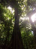 picture of rainforest  - Beautiful tropical trees in Costa Rica rainforest - JPG