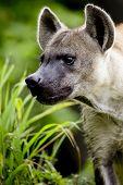 image of hyenas  - Close up of A Hyena animal wildlife on nature background - JPG
