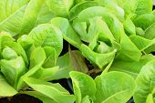 pic of hydroponics  - hydroponic vegetable in nature at the garden - JPG