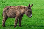 picture of donkey  - Donkey staring at the grass at a meadow - JPG