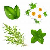 foto of mint leaf  - Aroma Herbs Set From Mint Camomiles Rosemary And Tea Leaves Isolated On White Background Vector Illustration - JPG