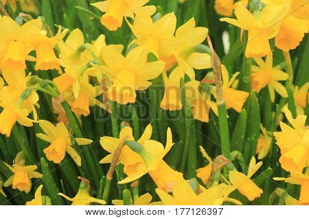 Group of all yellow daffodils spring flowers