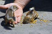 Feeding Domesticated Chipmunks poster