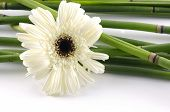 stock photo of white flower  - Lucky bamboo with gorgeous white flower on white - JPG