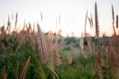 Mission Grass,feather Pennisetum,thin Napier Grass Or Poaceae Grass Flowers On Sunset Light And Oran poster