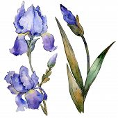 Purple Iris Floral Botanical Flower. Watercolor Background Illustration Set. Isolated Iris Illustrat poster