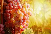 Grapes Against Sunset Light. Vivid Coloured. Grapes Yard poster