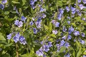 Close-up Of Spring Speedwell (veronica Chamaedrys) Plants In Full Bloom Under The Spring Sun. Also K poster