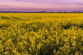 Beautiful Purple Sunset Light In A Spring Evening Over Colorful Bright Yellow Rapeseed (brassica Nap poster