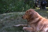 Damp Nova Scotia Duck Tolling Retriever Resting In Grass. poster