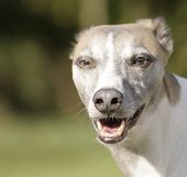 stock photo of seeing eye dog  - The proud whippet looks at his boss you can see the trust in his eyes - JPG