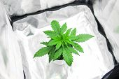 Cultivation Growing Under Led Light. Top View. Vegetation Of Cannabis Growing. Cannabis Plant Growin poster