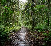 wooden trail in the Amazon rain forest of Colombia. A path through the rainforest between the lush g poster
