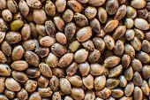 Many Cannabis Seeds. Organic Hemp Seed. Close Up. Hemp Seeds Background In Macro. Macro Detail Of Ma poster