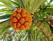 Fruit Of Pandanus Tree Also Known As Pandan Or Screw Pine Or Screw Palm. It Is A Palm-like Tree And  poster