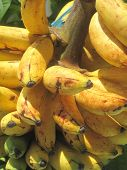 pic of senorita  - Close up of ripe delicious senorita bananas.
