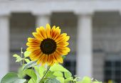Sunflower In Front Of Historical Building poster