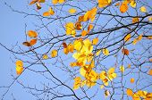 Branch of tree with yellow autumn leaves