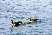 stock photo of mother goose  - Canadian goose family with baby gos in New York harbor - JPG