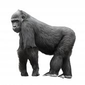 stock photo of hairy  - Silverback gorilla standing on a lookout isolated on white background - JPG
