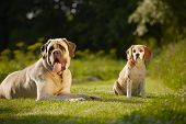 Mastiff With Beagle